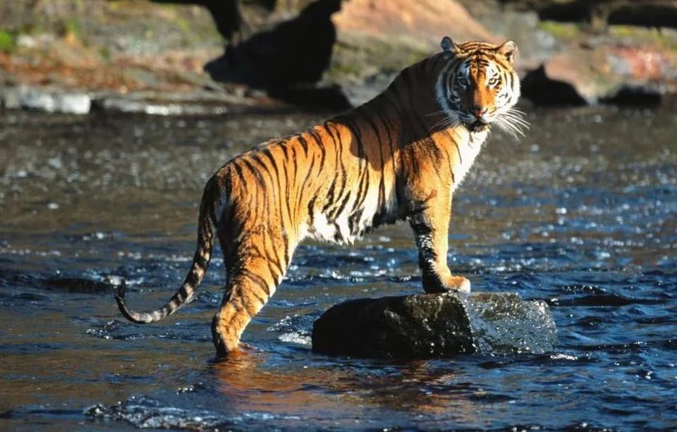 амурский тигр на реке