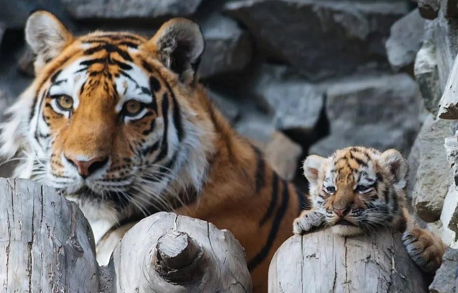 Амурский тигр с тигренком